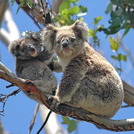 Picture of koalas